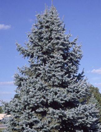 Colorado Spruce Tree for sale through Clark SWCD
