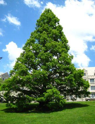 Dawn Redwood Tree for sale through Clark SWCD