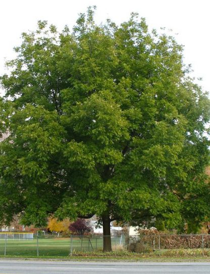 Northern Pecan Tree for sale through Clark SWCD
