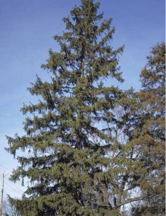 Norway Spruce Tree for sale through Clark SWCD