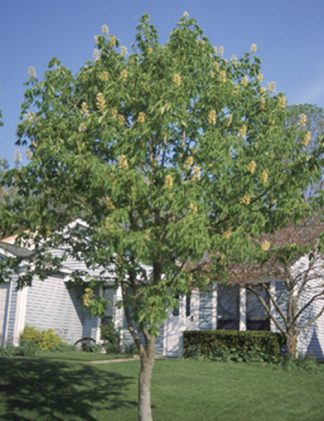 Ohio Buckeye Tree for sale through Clark SWCD