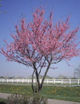 Redbud Tree for sale through Clark SWCD