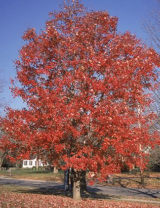 Red Maple tree for sale through Clark SWCD