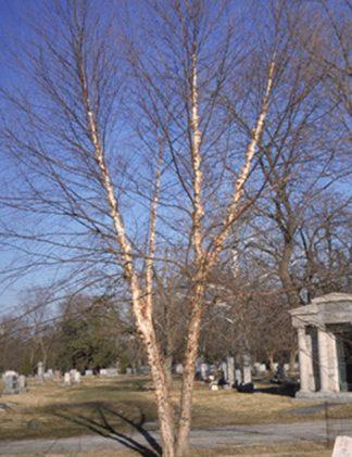 River Birch tree for sale through Clark SWCD