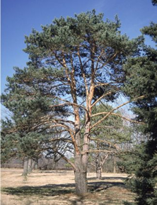 Scotch Pine tree for sale through Clark SWCD