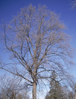 Tulip tree for sale through Clark SWCD