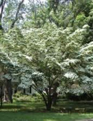 White Dogwood Tree for sale through Clark SWCD