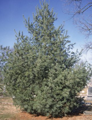 White Pine Tree for sale through Clark SWCD